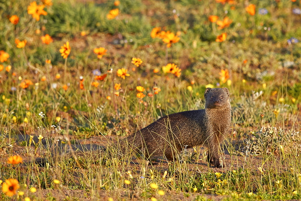 Marsh Mongoose (Atilax paludinosus) among wildflowers, Namaqua National Park, Namakwa, Namaqualand, South Africa, Africa - 764-5681