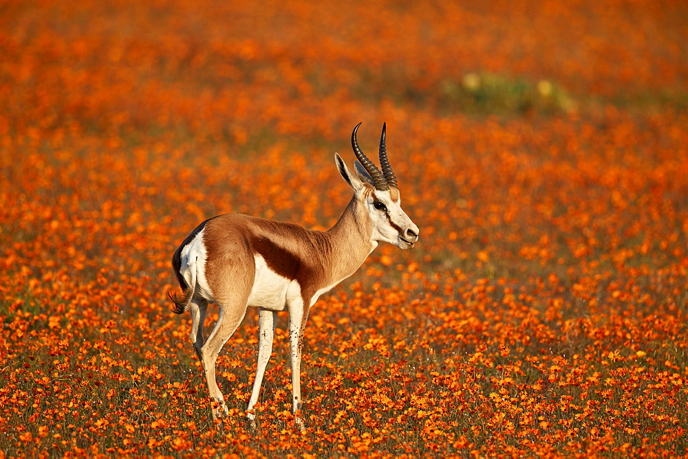 Springbok (Antidorcas marsupialis) among orange wildflowers, Namaqualand National Park, Namakwa, Namaqualand, South Africa, Africa