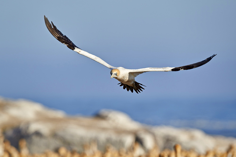 Cape Gannet (Morus capensis) in flight, Bird Island, Lambert's Bay, South Africa, Africa - 764-5688
