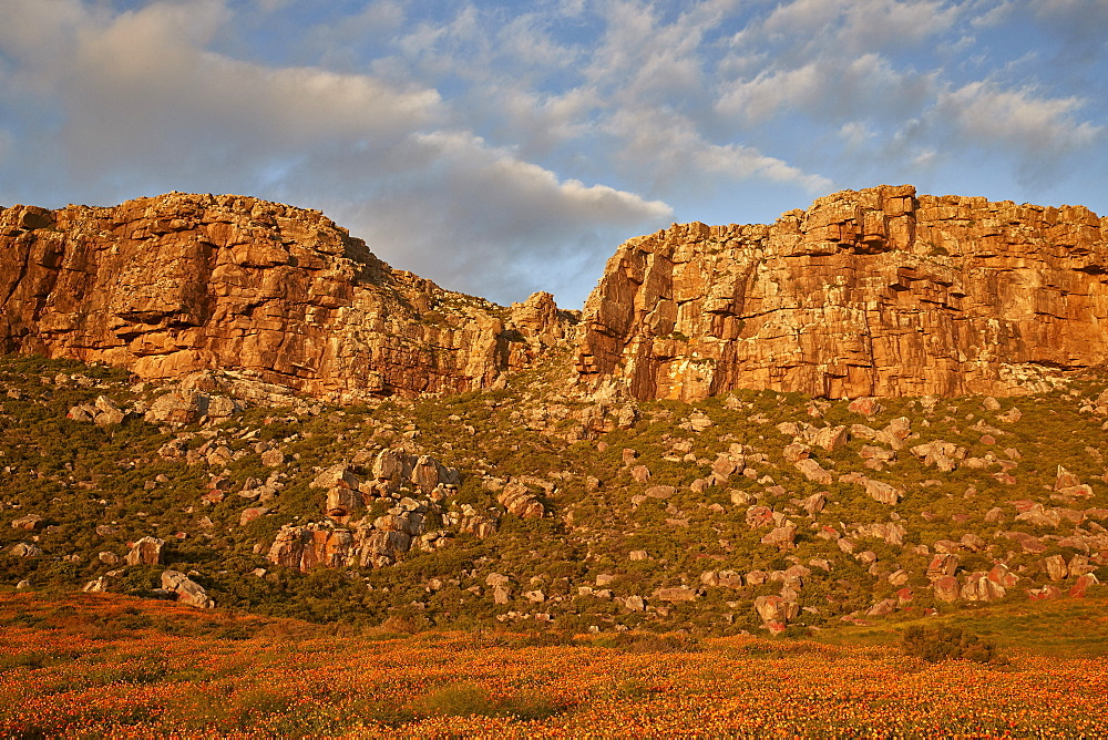 Field of African daisy (gousblom) (Arctotis hirsuta) and Bittergousblom (Arctotis fastuosa), Elands Bay, South Africa, Africa