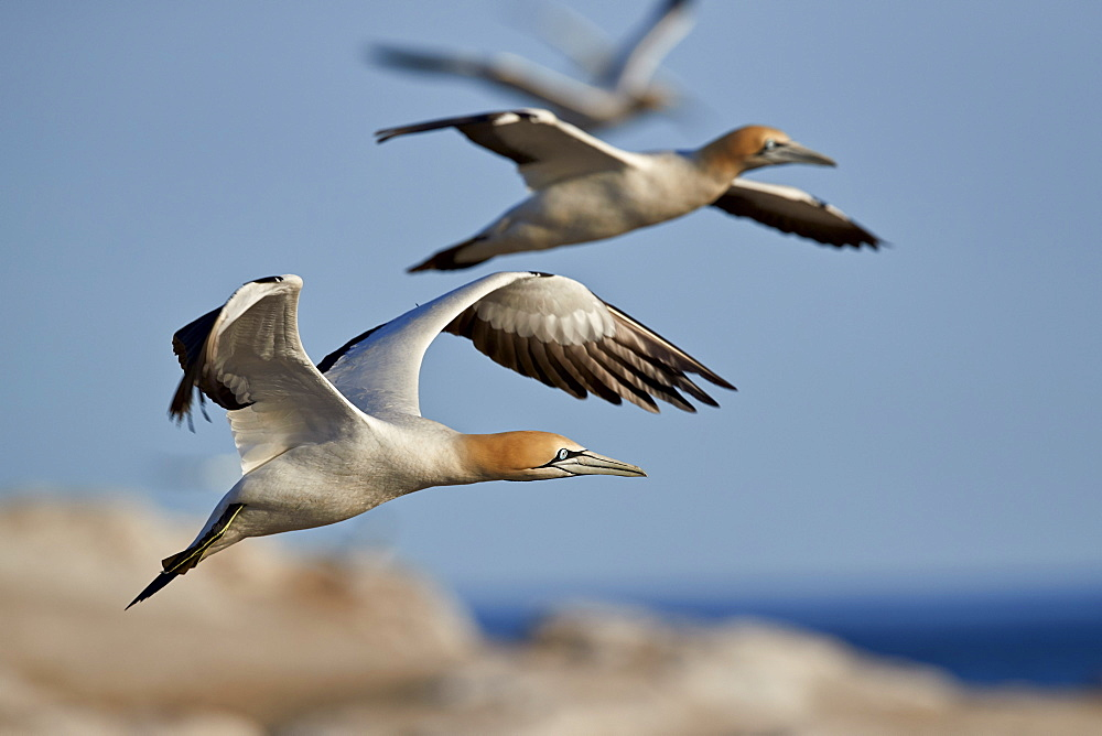 Cape gannet (Morus capensis) in flight, Bird Island, Lambert's Bay, South Africa, Africa