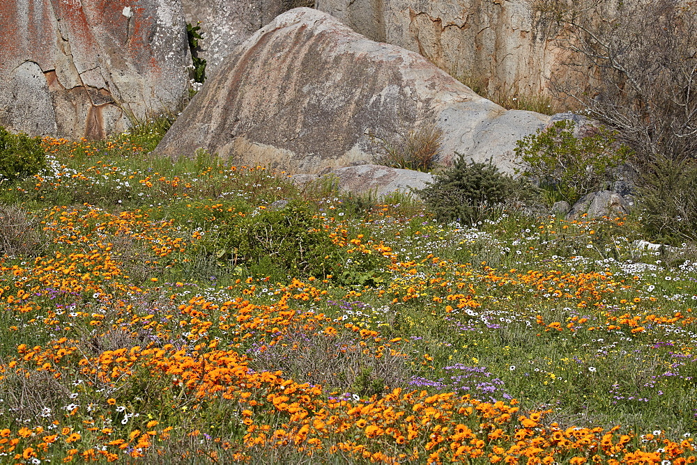 Orange, purple, white, and yellow wildflowers, West Coast National Park, South Africa