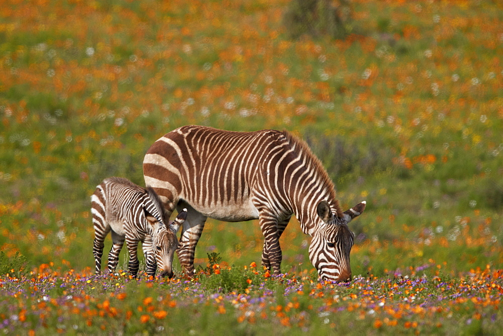 Cape mountain zebra (Equus zebra zebra) among wildflowers, West Coast National Park, South Africa, Africa