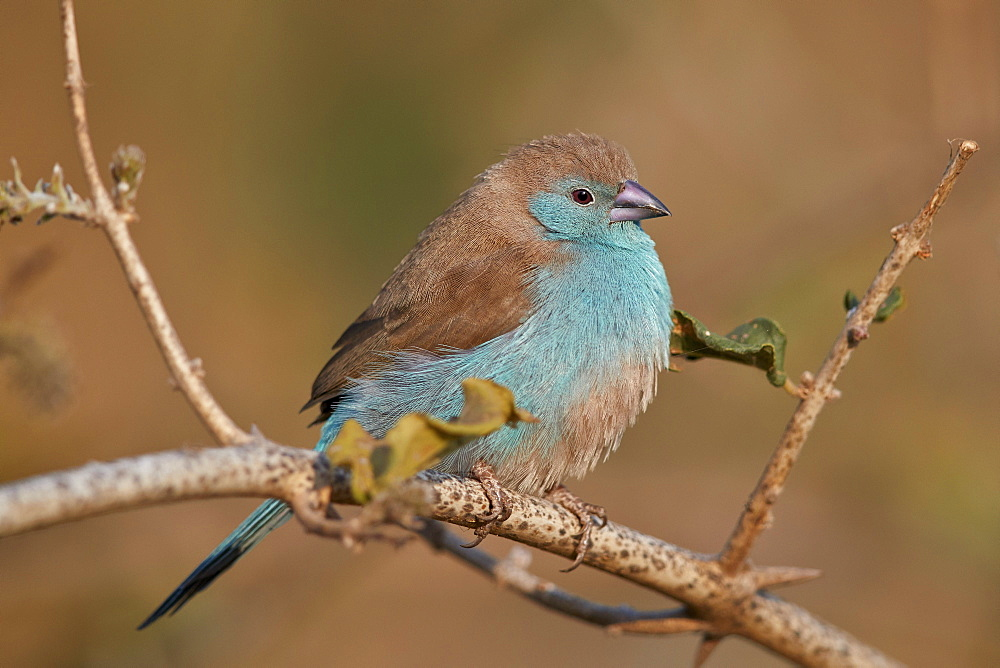 Blue Waxbill (Uraeginthus angolensis), Kruger National Park, South Africa - 764-5702