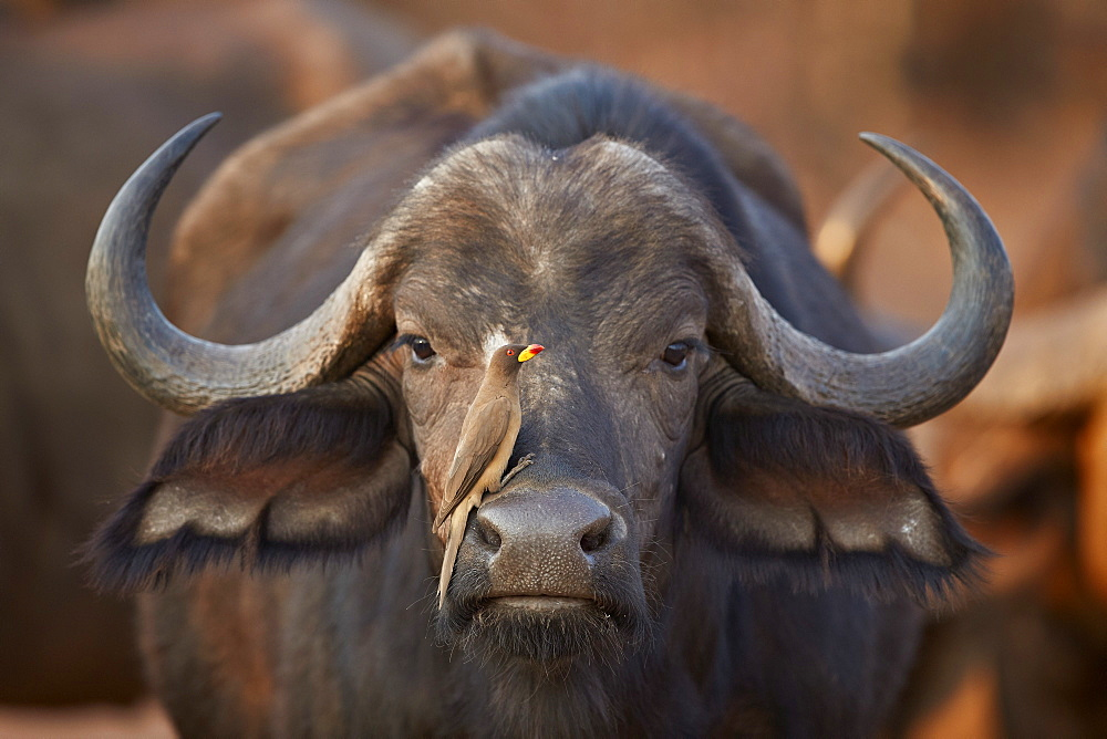 Yellow-billed oxpecker (Buphagus africanus) on a Cape buffalo (Syncerus caffer), Kruger National Park, South Africa, Africa