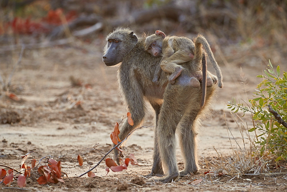 Chacma Baboon (Papio ursinus) infant riding its mother, Kruger National Park, South Africa, Africa