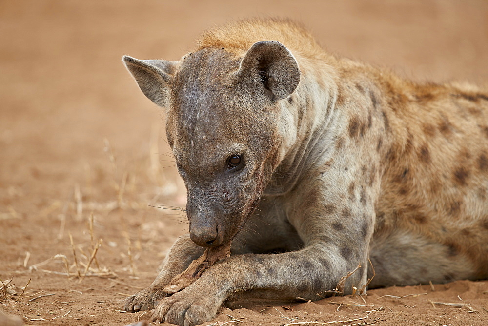 Spotted hyena (spotted hyaena) (Crocuta crocuta) eating, Kruger National Park, South Africa, Africa