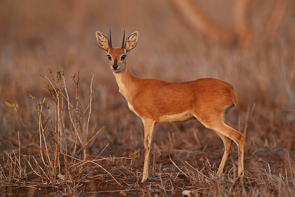 Steenbok (Raphicerus campestris) buck, Kruger National Park, South Africa - 764-5718