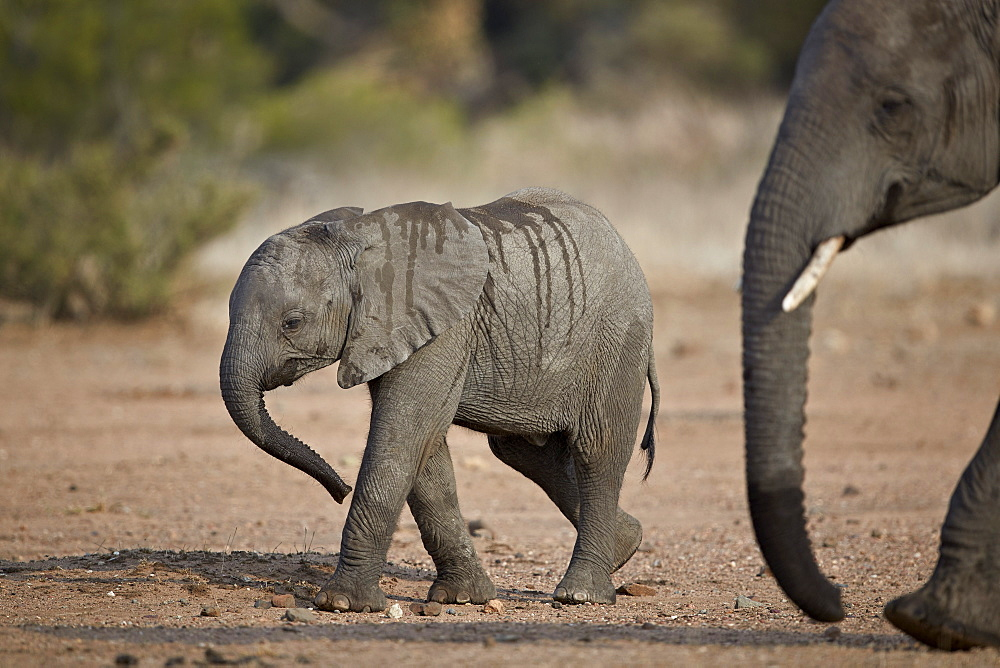 African elephant (Loxodonta africana) baby, Kruger National Park, South Africa, Africa