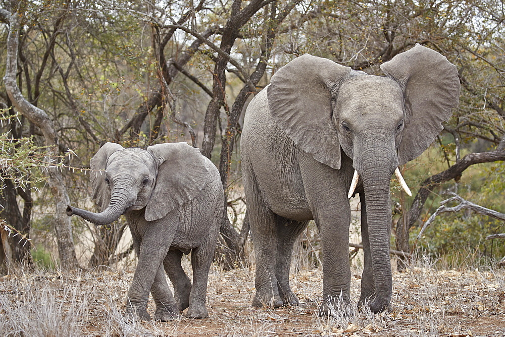 African elephant (Loxodonta africana) adult and juvenile, Kruger National Park, South Africa, Africa