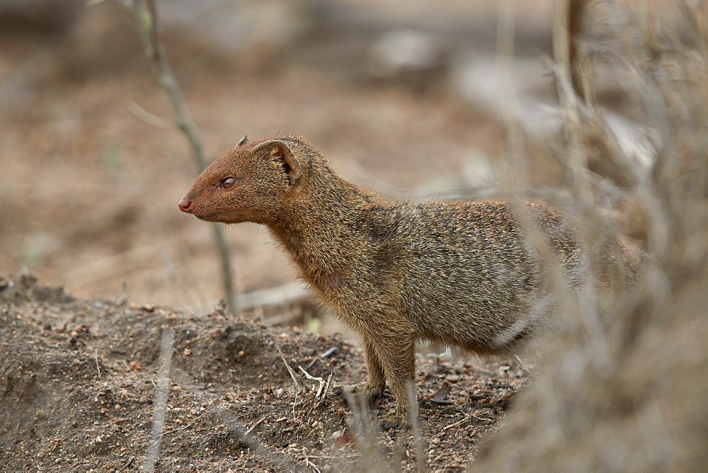 Slender mongoose (Galerella sanguinea), Kruger National Park, South Africa, Africa
