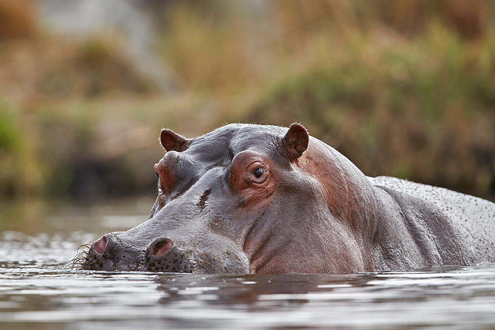 Hippopotamus (Hippopotamus amphibius), Kruger National Park, South Africa, Africa