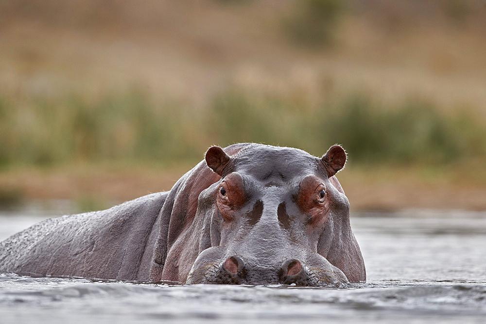 Hippopotamus (Hippopotamus amphibius), Kruger National Park, South Africa