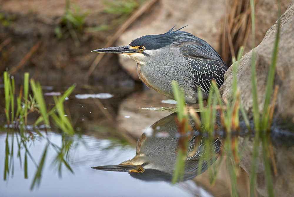 Green-backed heron (striated heron) (Butorides striatus), Kruger National Park, South Africa, Africa