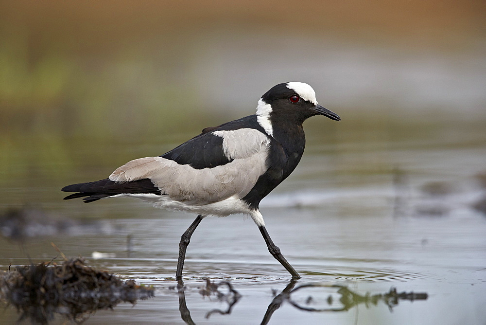 Blacksmith plover (blacksmith lapwing) (Vanellus armatus), Kruger National Park, South Africa, Africa