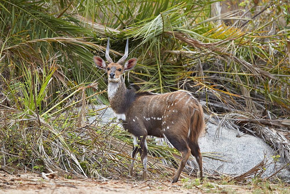 Bushbuck or Kéwel (Tragelaphus scriptus), buck, Kruger National Park, South Africa