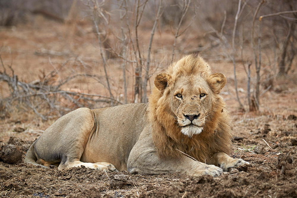 Lion (Panthera leo), Kruger National Park, South Africa