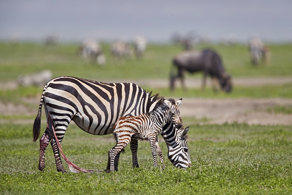 Common zebra (plains zebra) (Burchell's zebra) (Equus burchelli) mare and just-born foal, Ngorongoro Crater, Tanzania, East Africa, Africa