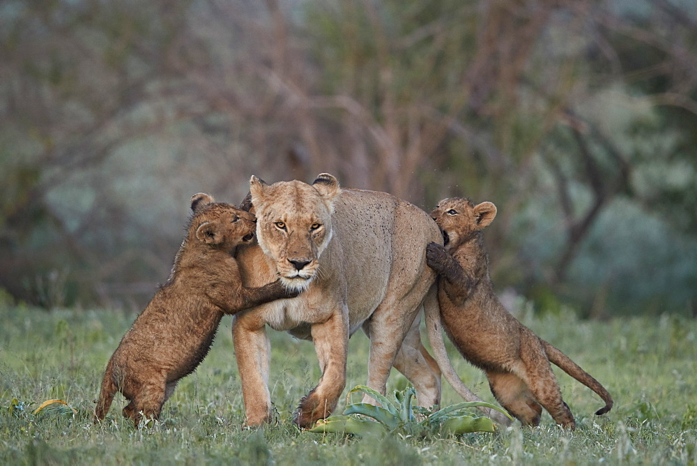 Lion (Panthera leo), two cubs playing with their mother, Ngorongoro Crater, Tanzania