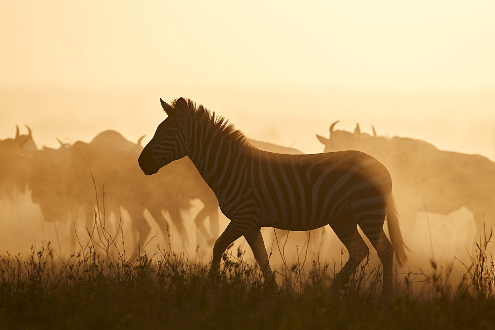 The Migration, Common Zebra (Equus burchelli) and Blue Wildebeest (Connochaetes taurinus), Serengeti National Park, Tanzania, East Africa, Africa