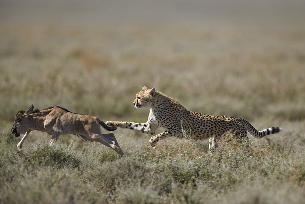 Cheetah (Acinonyx jubatus) taking down a baby blue wildebeest (Connochaetes taurinus), Ngorongoro Conservation Area, Tanzania, East Africa, Africa