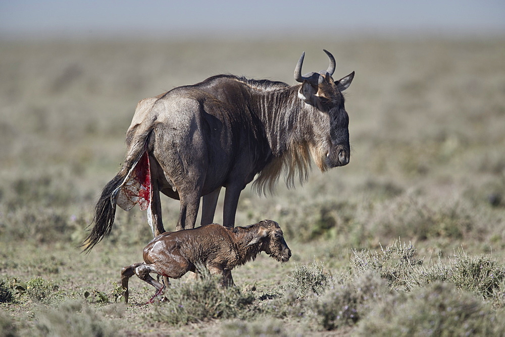 Blue wildebeest (Connochaetes taurinus) newborn calf trying to stand for the first time, Ngorongoro Conservation Area, Tanzania, East Africa, Africa
