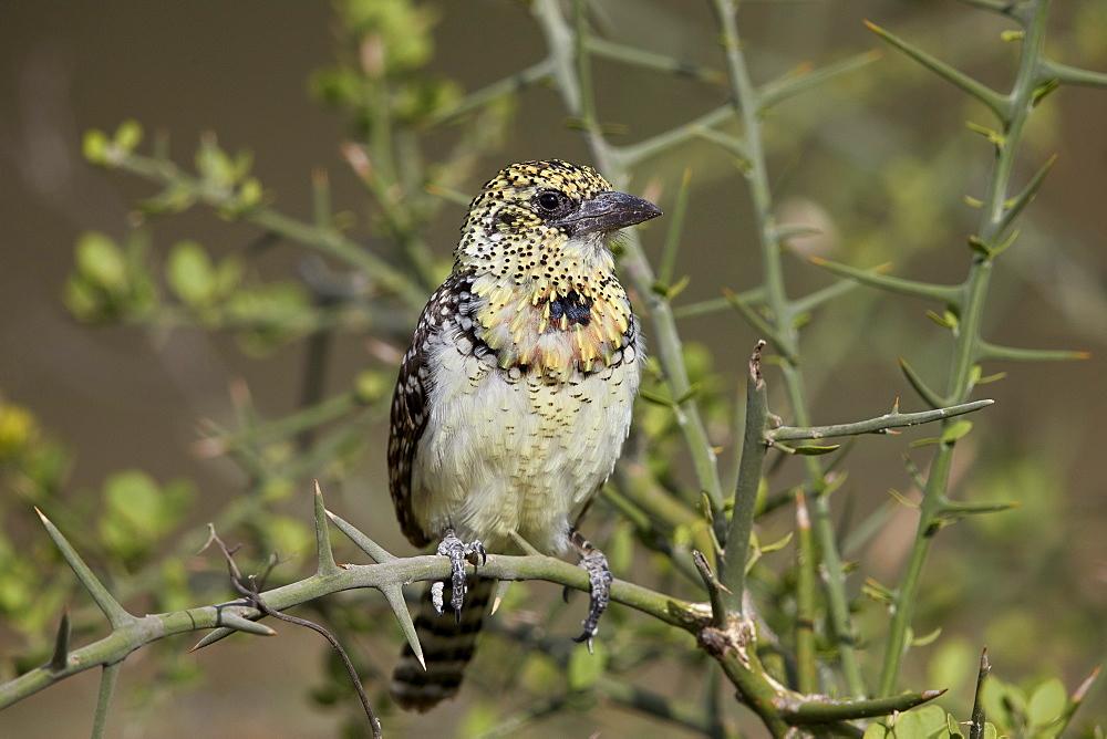 D'Arnaud's barbet (Trachyphonus darnaudii), Ngorongoro Conservation Area, Tanzania, East Africa, Africa
