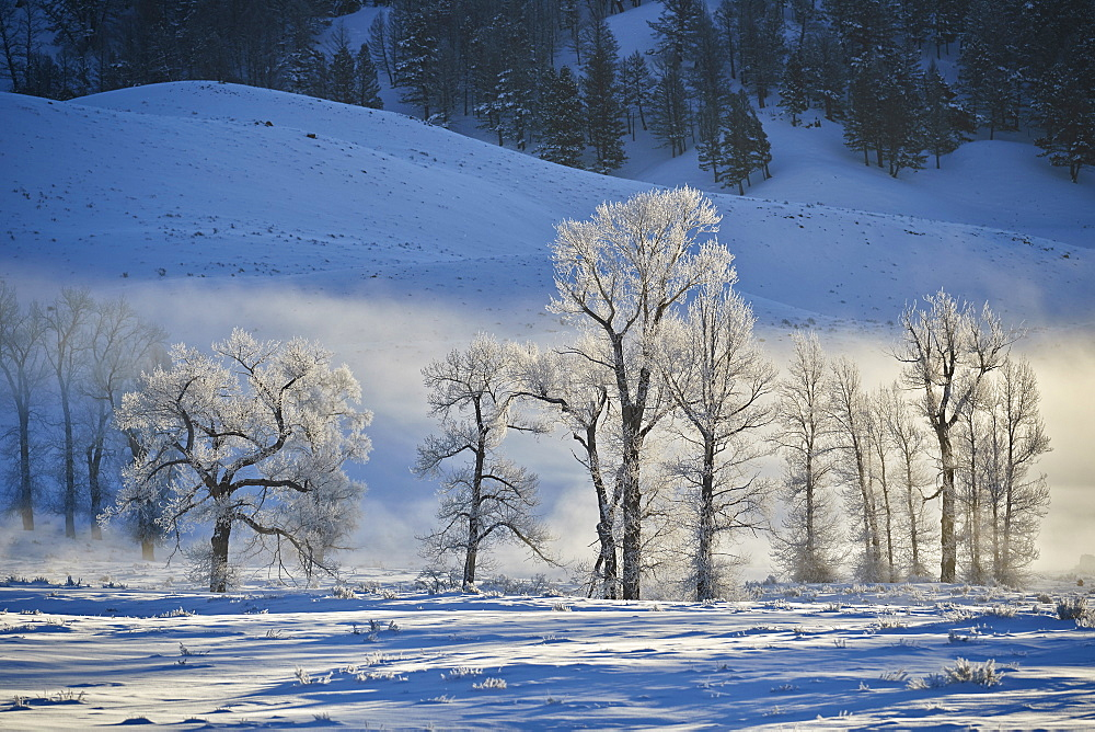 Backlit frost-covered cottonwood trees in the winter, Yellowstone National Park, UNESCO World Heritage Site, Wyoming, United States of America, North America