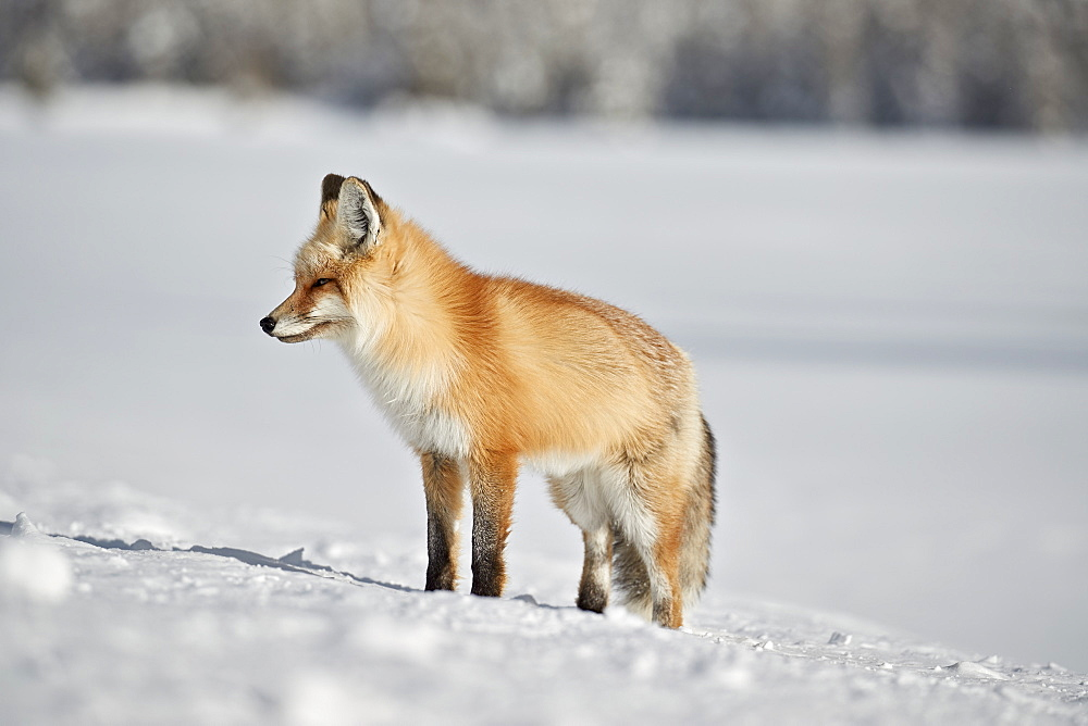 Red Fox (Vulpes vulpes or Vulpes fulva) in the snow in winter, Grand Teton National Park, Wyoming, USA