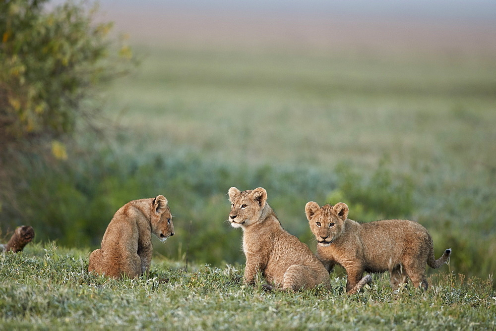Three Lion (Panthera leo) cubs, Ngorongoro Crater, Tanzania