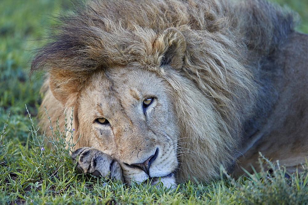 Lion (Panthera leo) resting, Ngorongoro Crater, Tanzania, East Africa, Africa - 764-5841