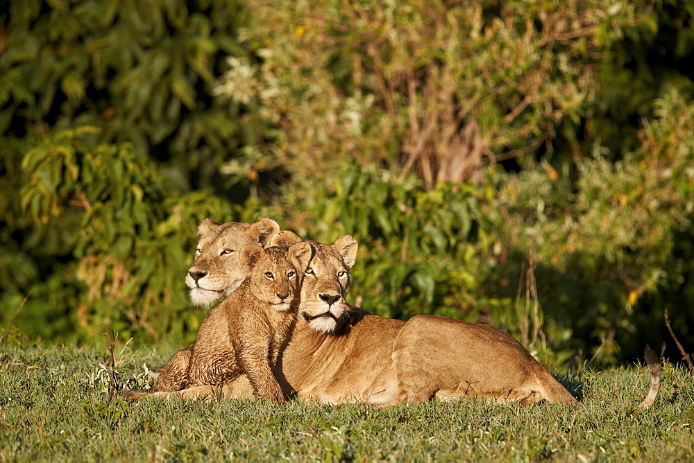 Two Lioness (Lion, Panthera leo) and a cub, Ngorongoro Crater, Tanzania
