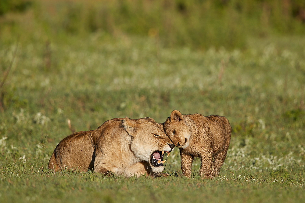 Lion (Panthera leo) cub rubbing against its mother, Ngorongoro Crater, Tanzania
