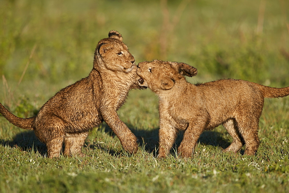 Two Lion (Panthera leo) cubs playing, Ngorongoro Crater, Tanzania