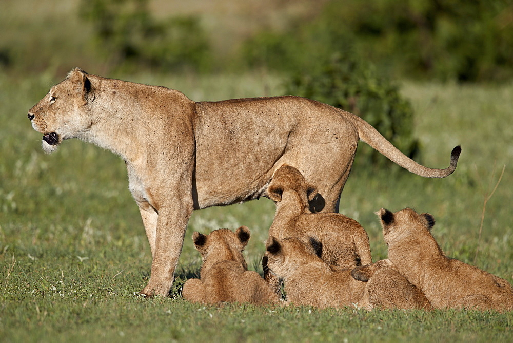 Lion (Panthera leo) cubs and their mother, Ngorongoro Crater, Tanzania