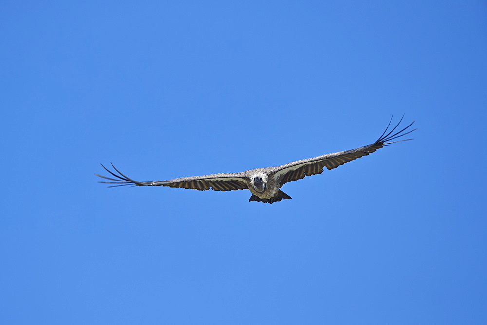 African white-backed vulture (Gyps africanus) in flight, Ngorongoro Crater, Tanzania, East Africa, Africa