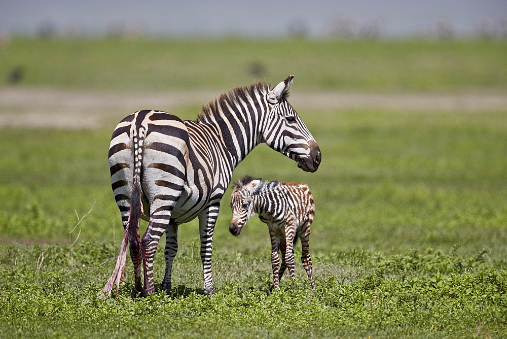 Common zebra (plains zebra) (Burchell's zebra) (Equus burchelli) mare and just-born foal, Ngorongoro Crater, Tanzania, East Africa, Africa - 764-5864