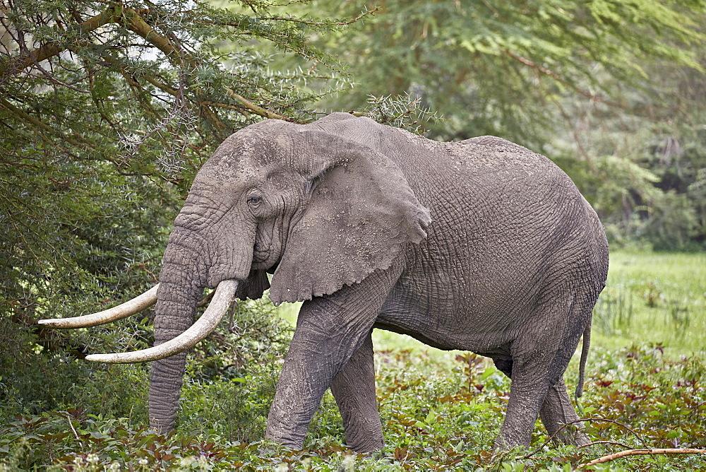 African elephant (Loxodonta africana) bull, Ngorongoro Crater, Tanzania, East Africa, Africa - 764-5869