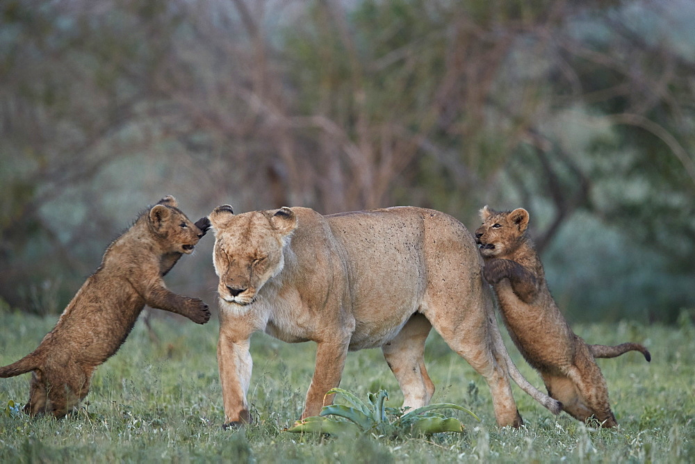 Lion (Panthera leo), two cubs playing with their mother, Ngorongoro Crater, Tanzania, East Africa, Africa
