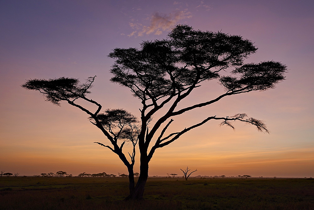 Acacia tree at dawn, Serengeti National Park, Tanzania, East Africa, Africa