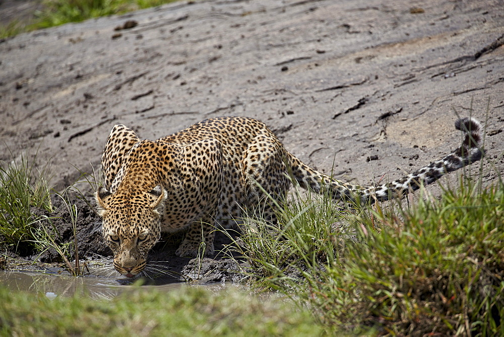 Leopard (Panthera pardus) drinking, Serengeti National Park, Tanzania, East Africa, Africa