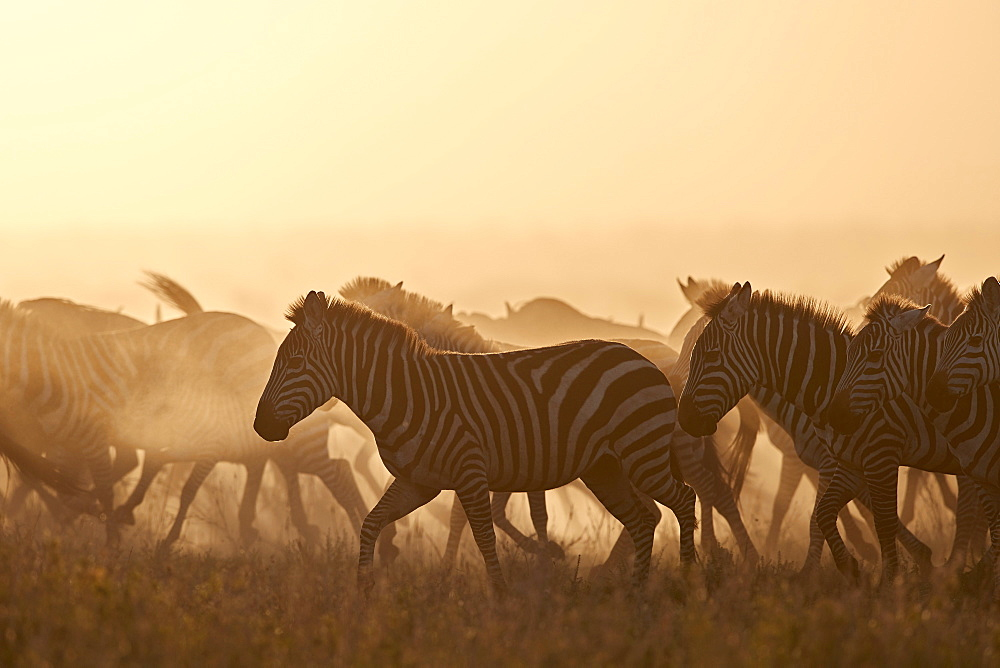 The Migration, common zebra (plains zebra) (Burchell's zebra) (Equus burchelli), Serengeti National Park, Tanzania, East Africa, Africa