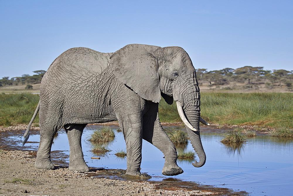 African Elephant (Loxodonta africana), male, Ngorongoro Conservation Area, Tanzania