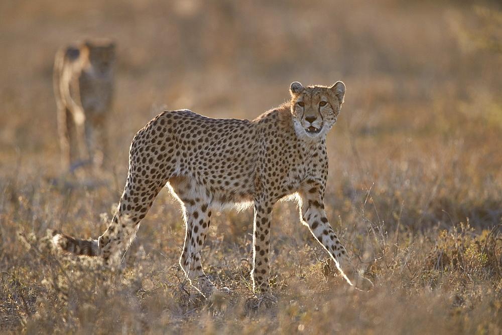 Two Cheetah (Acinonyx jubatus), Ngorongoro Conservation Area, Tanzania