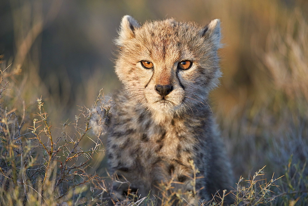 Cheetah (Acinonyx jubatus) cub, Ngorongoro Conservation Area, Tanzania, East Africa, Africa