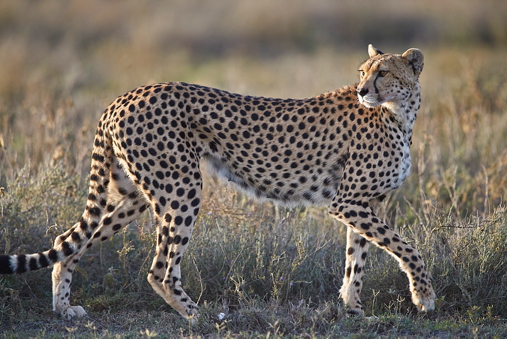 Cheetah (Acinonyx jubatus), Ngorongoro Conservation Area, Tanzania - 764-5910