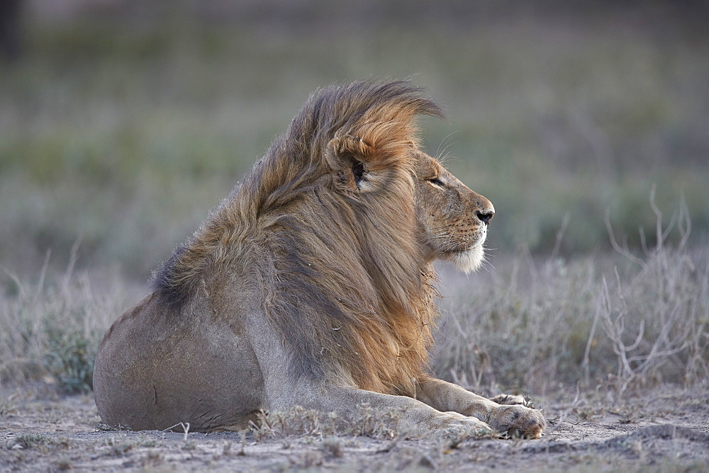 Lion (Panthera leo), Ngorongoro Conservation Area, Tanzania - 764-5914