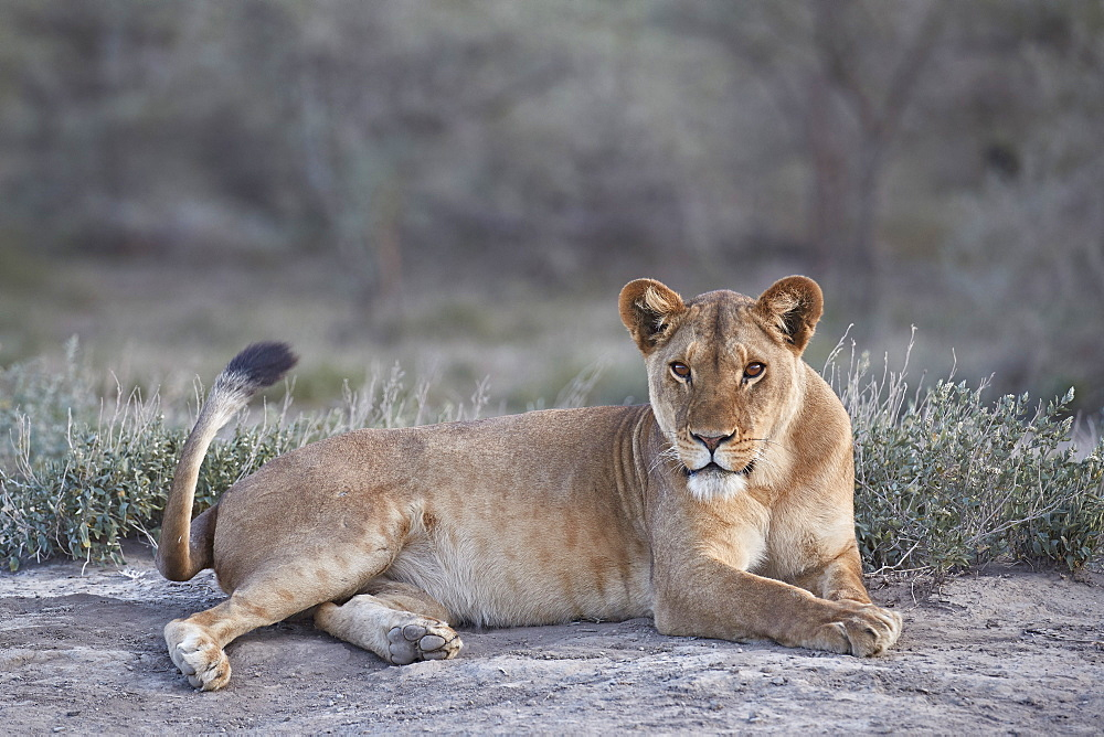 Lioness (Lion) (Panthera leo), Ngorongoro Conservation Area, Tanzania, East Africa, Africa - 764-5915