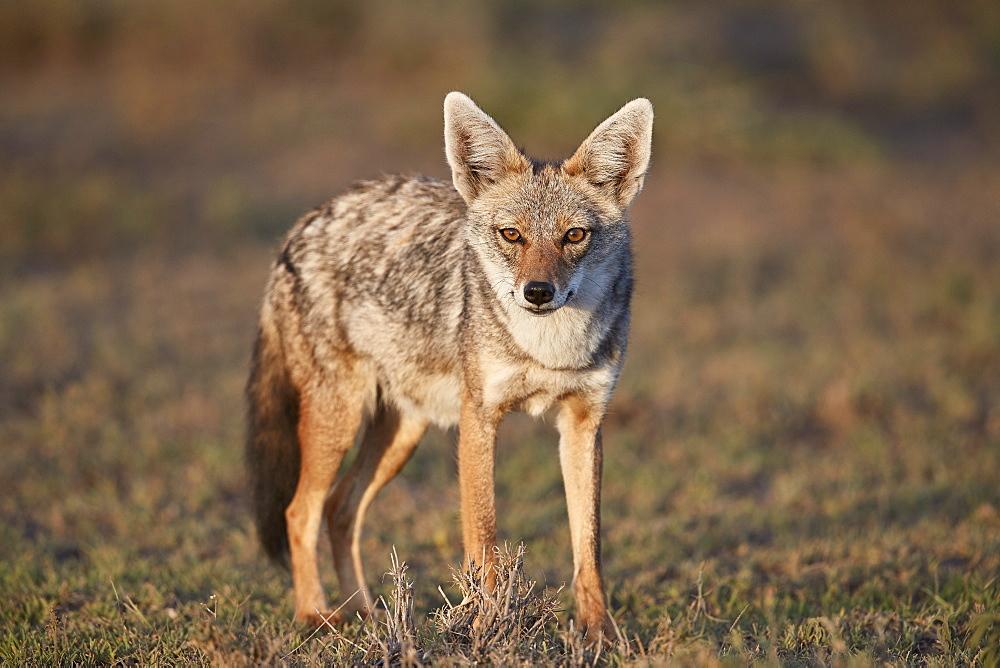 Golden Jackal (Canis aureus), Ngorongoro Conservation Area, Tanzania, East Africa, Africa