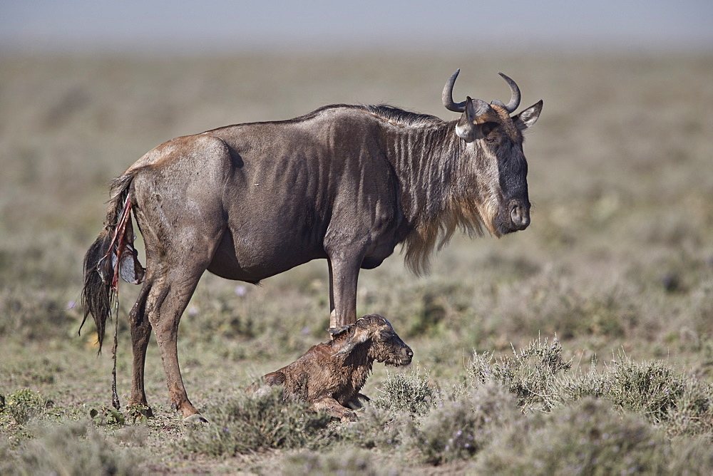 Blue Wildebeest or Brindled Gnu (Connochaetes taurinus) newborn calf, Ngorongoro Conservation Area, Tanzania
